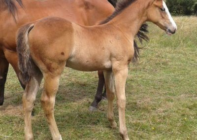 Part bred bay filly
