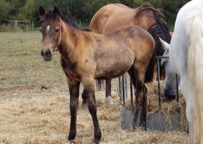 QH X Andalusian